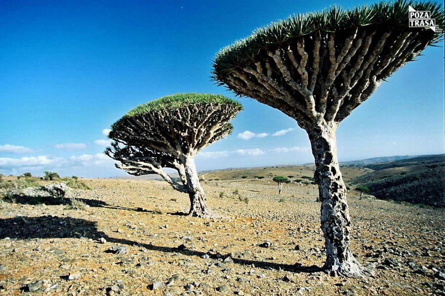 Sokotra endemiczne gatunki