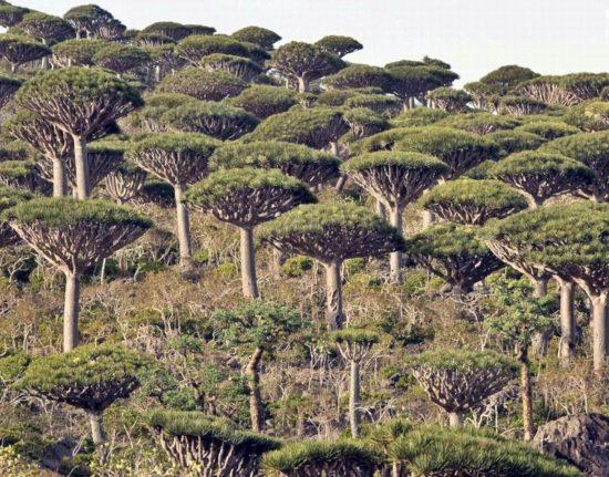 Sokotra smocze drzewa