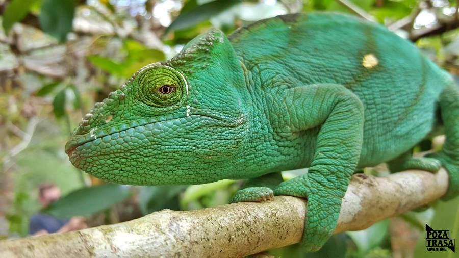 Kameleon endemiczne gatunki