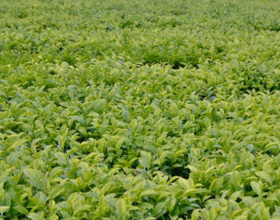 plantacja herbaty Afryka