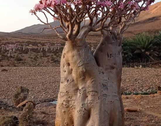 endemiczne drzewa ogórkowe na Sokotrze