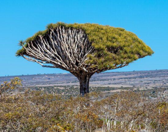 smocze drzewa draceny na Sokotrze