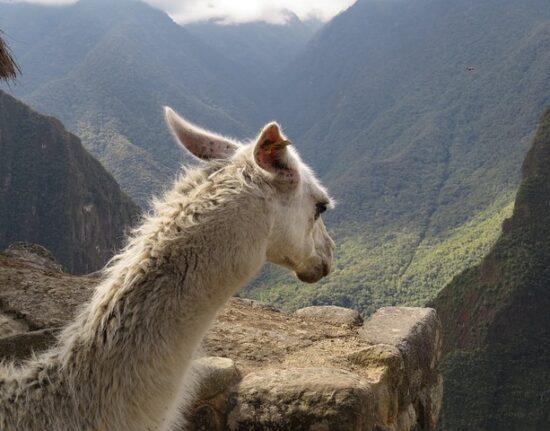 Lama w Peru