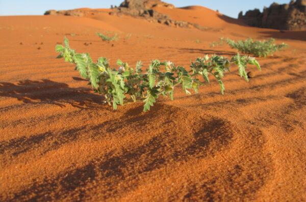 Sahara roślinność