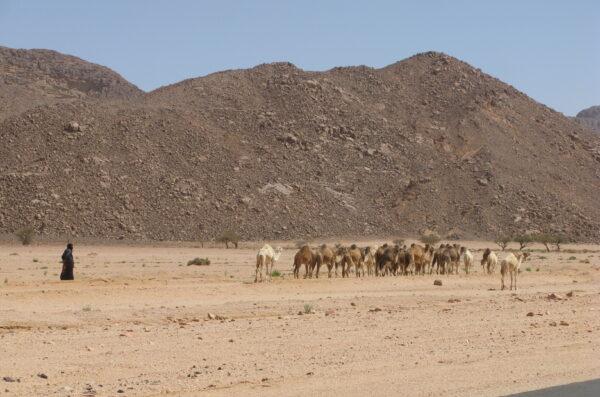 Sahara Wielbłądy