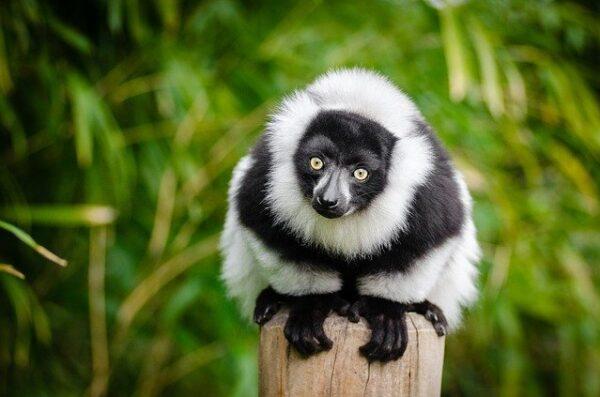 Madagaskar Wyjazd Lemur