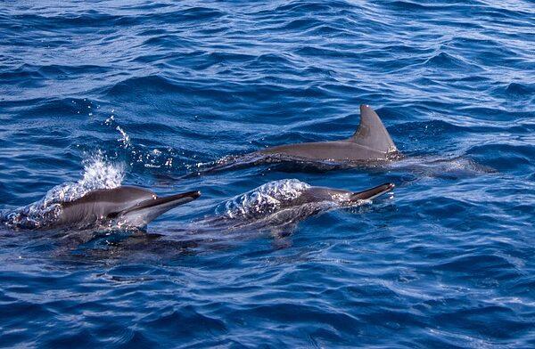 dzikie delfiny