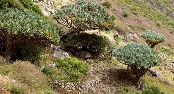 Smocze drzewa