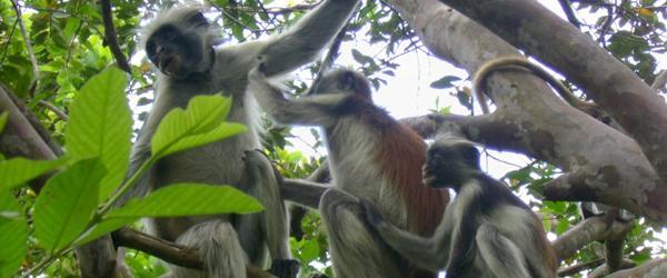 Red Colobus Zanzibar
