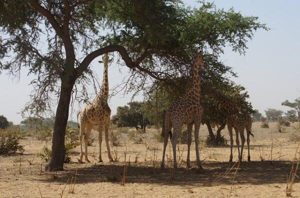 Niger Rezerwat Żyraf Kouré