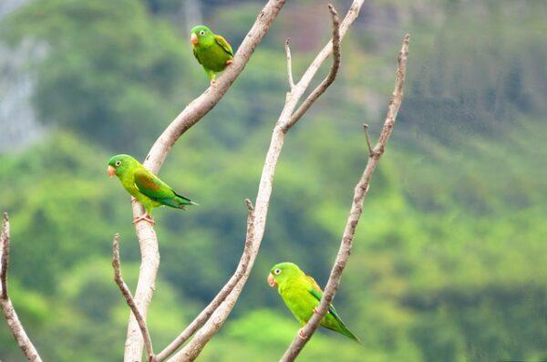 ptaki Amazonii w Kolumbii